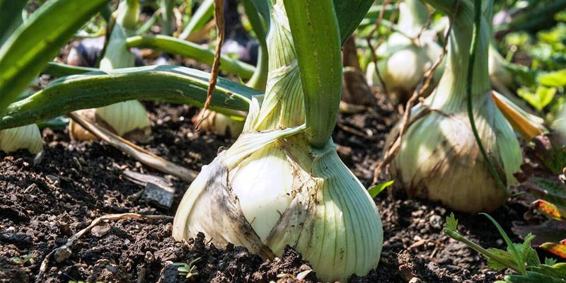Companion planting onions for organic garden pest control