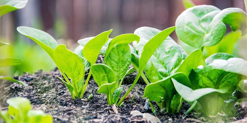 Grow your own leafy green veggies