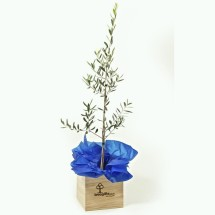 Tree Gifts - Large Olive Tree