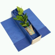 Lime Tree Gift Image